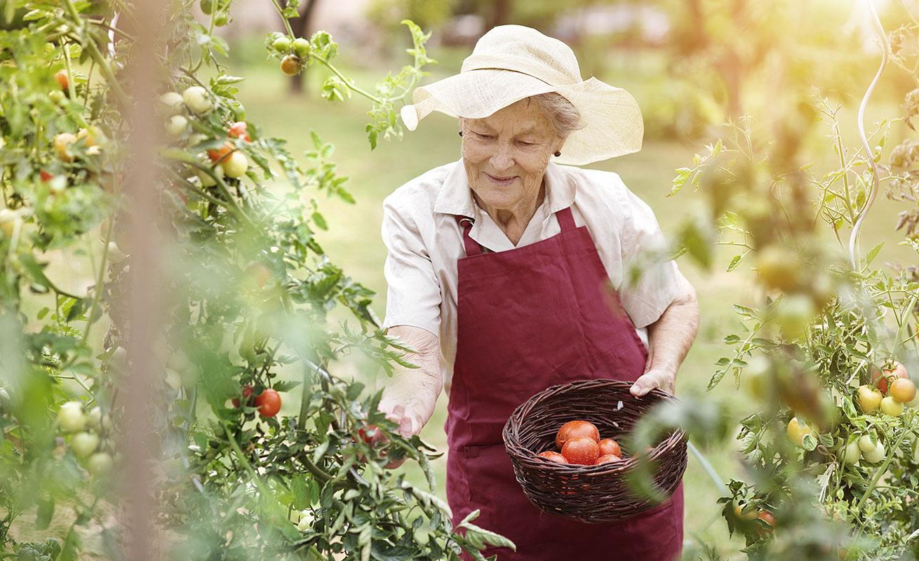 Ältere Dame, die Tomaten erntet